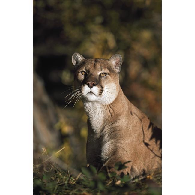 Posterazzi DPI1865249LARGE Portrait of Mountain Lion - Idaho USA Poster Print, 24 x 38 - image 1 de 1
