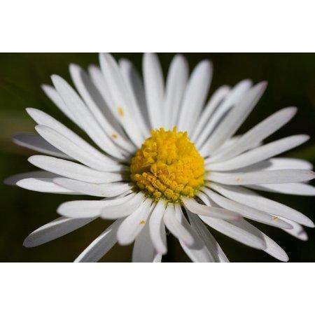 LAMINATED POSTER Daisy Flora Fauna Garden Plant Flower Nature Poster Print 24 x 36
