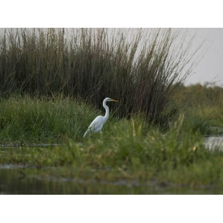 Great White Heron (Ardea Alba), Okavango Delta, Ngamiland, Botswana Print Wall Art By Green Light Collection