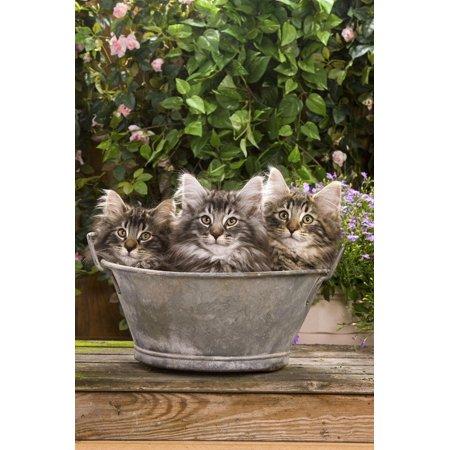 Norwegian Forest Cat Three Kittens in Tin Pail Print Wall Art