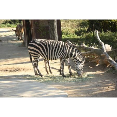 Canvas Print Everland Zoo Zebra Stretched Canvas 10 x 14