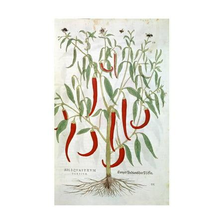- Cayenne Pepper Plant (Capsicu), 16th Century Print Wall Art