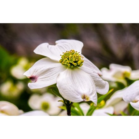 Peel-n-Stick Poster of Plant Dogwood Nature Bloom Blossom Flower Spring Poster 24x16 Adhesive Sticker Poster - Dogwood Bloom