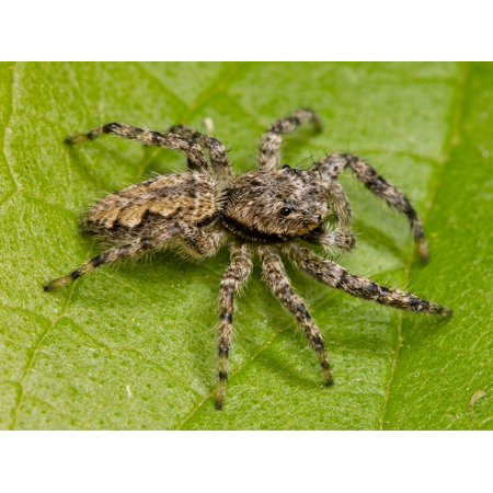 LAMINATED POSTER Adult Hairy Spider Jumping Spider Arachnid Animal Poster Print 24x16 Adhesive Decal