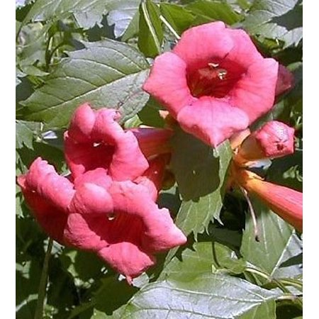 Trumpet Mushrooms - Flamenco Trumpet Vine  - Campsis - 2.5