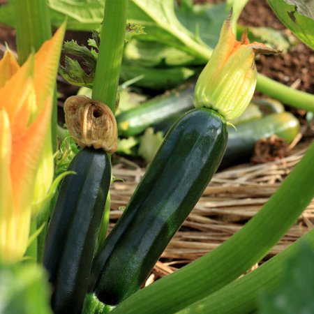 Black Beauty Zucchini Summer Squash Garden Seeds - 5 Lbs Bulk - Non-GMO, Heirloom - Vegetable Gardening Seed