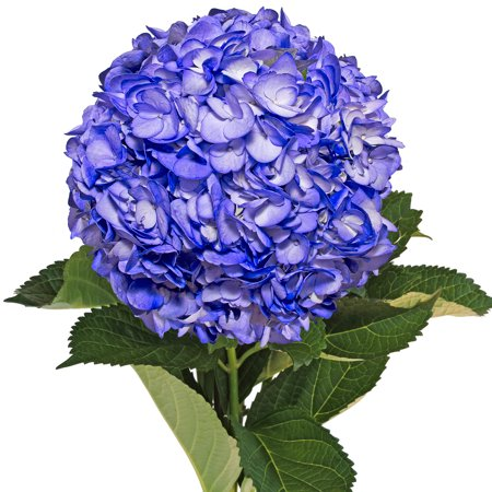 Image of Fresh Cut Airbrushed Blue Berry Hydrangeas, Pack of 15 by InBloom Group
