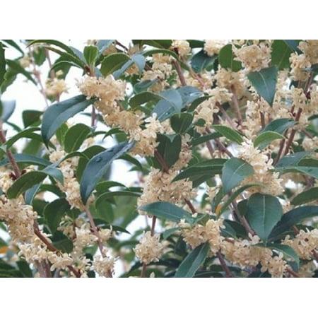 Fruitlands Fragrant Tea Olive (osmanthus) - Live Plant, (TG)