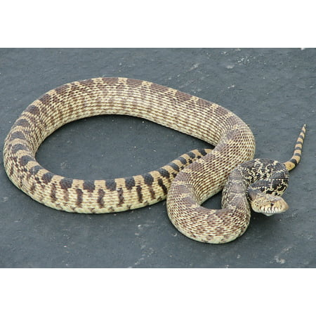 LAMINATED POSTER Sunning Scales Crawling Non Venomous Gopher Snake Poster Print 24 x 36