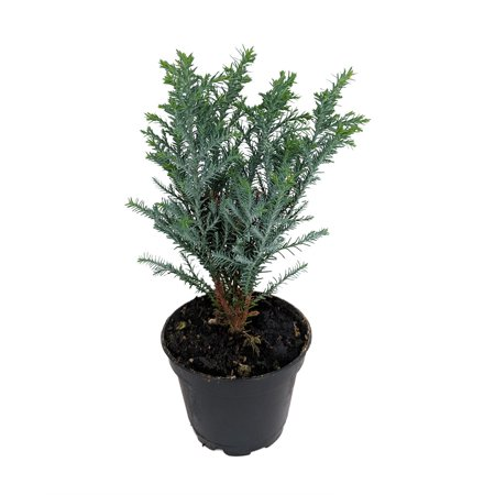 Blue European Cypress Christmas Tree - Chamaecyparis - Indoors/Out - 2.5