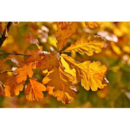 Autumn Oasis (LAMINATED POSTER Oak Eichenlaub Leaves Fall Foliage Autumn Poster Print 24 x 36)