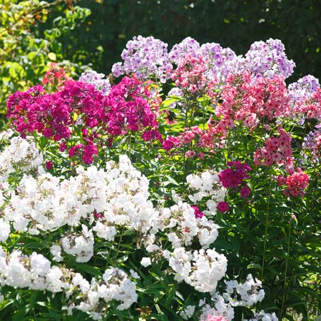 Phlox new hybrids flower seed mix 100 seeds perennial flower phlox new hybrids flower seed mix 100 seeds perennial flower gardening aas mightylinksfo