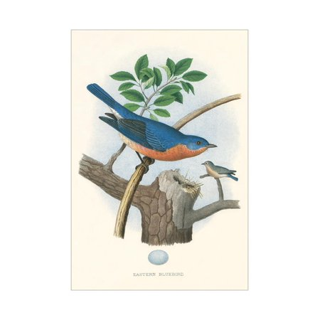 Eastern Bluebird Nest - Eastern Bluebird Nest and Eggs Print Wall Art