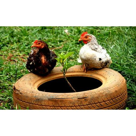 Canvas Print Animals Chickens ANI Chicken Bird Animal Farm Stretched Canvas 32 x - Adult Ani