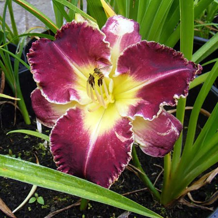 "Storm of the Century Daylily - Hemerocallis - Ruffled Royal Purple - 4"" Pot"