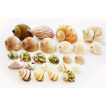 25 Shell Hermit Crab Changing Set - Select Shells - Small to Large 1/2-1 1/2+ opening Sizes - Land Snail, Turbo, Moon, Cornball and Conch Shells