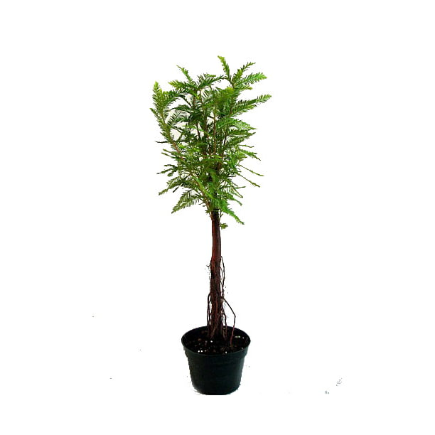 Bald Cypress Bonsai Tree Great For A Beginner 4 Pot Walmart Com Walmart Com