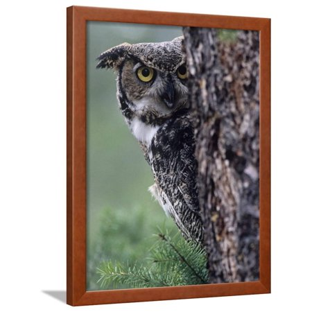 Great Horned Owl Peering from Behind a Tree Trunk (Bubo Virginianus), North America Framed Print Wall Art By Joe McDonald