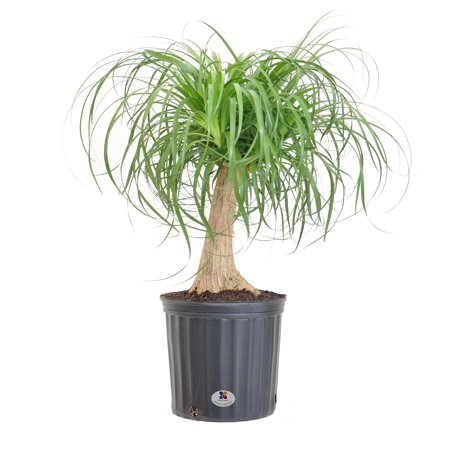 United Nursery Ponytail Palm Live Indoor Elephants Foot Plant Shipped in 9.25 inch Grower Pot 24-32 inch Shipping