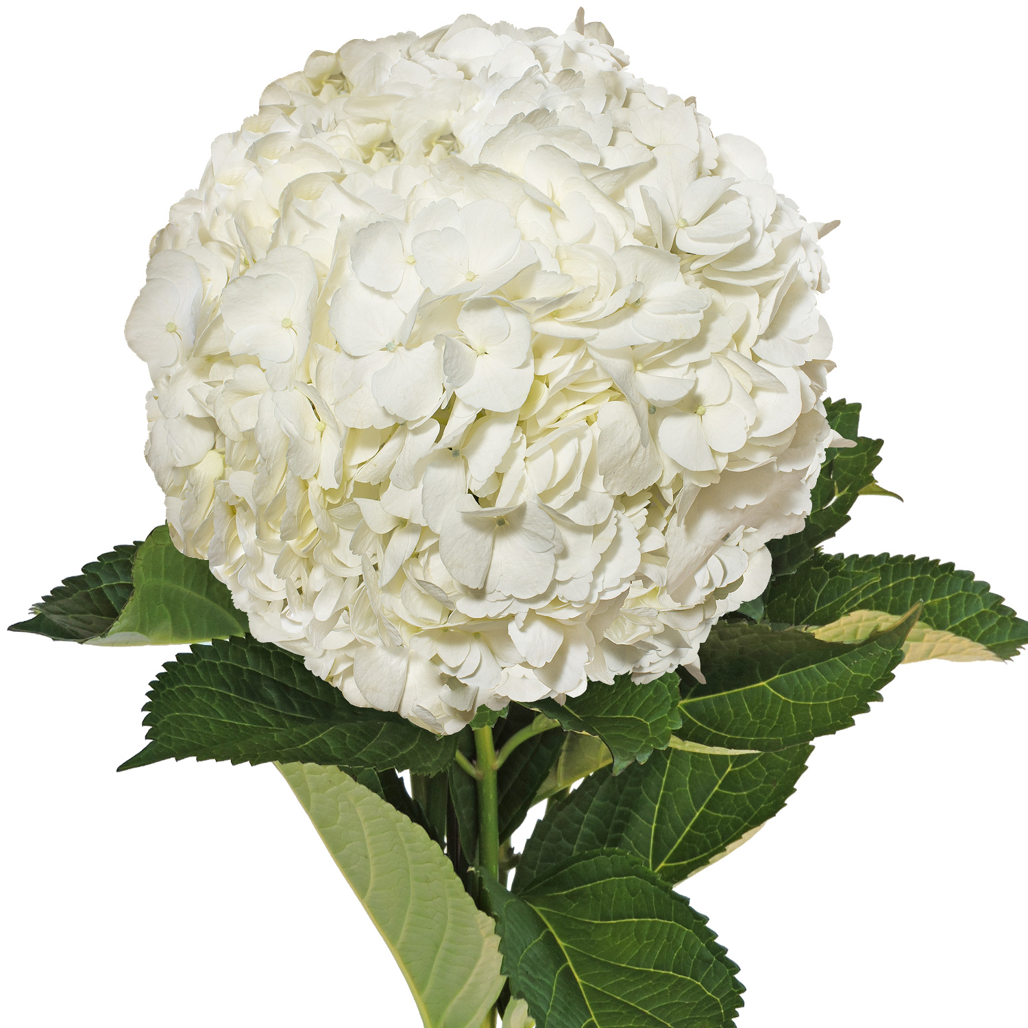 Natural Fresh Flowers White Hydrangeas 40 Stems Walmart Com