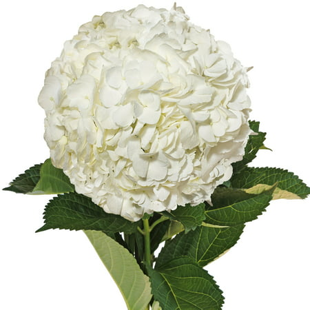 Natural fresh flowers white hydrangeas 40 stems walmart natural fresh flowers white hydrangeas 40 stems mightylinksfo