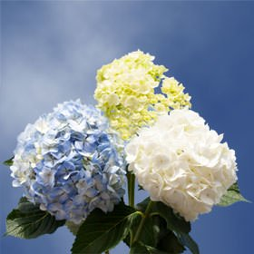 GlobalRose 10 Fresh Cut Assorted Colors Hydrangeas - Fresh Flowers For Birthdays, Weddings or - Wedding Anniversary Colors