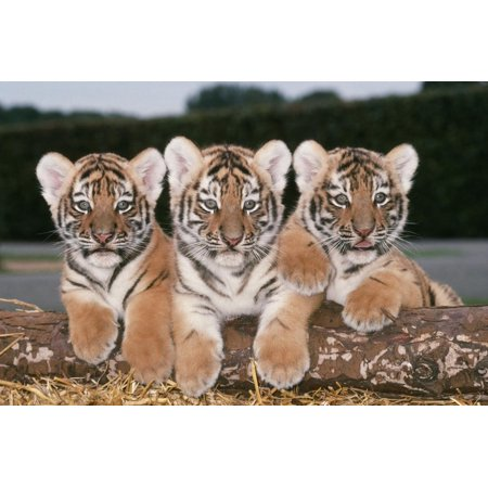 Siberian Amur Tiger Cubs X Three in a Row Print Wall - 2 Row Tiger