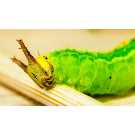 Canvas Print Green Horns Detail Macro Animal Caterpillar Head Stretched  Canvas 10 x 14