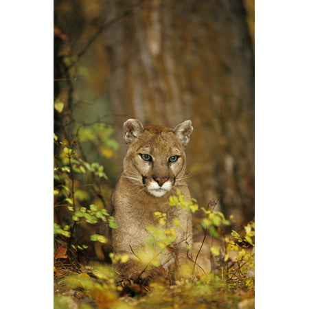 Adult Female Cougar (Puma Concolor) In Forest Canvas Art - Rebecca Grambo  Design Pics (11 x 18) - Halloween Zumba Pics
