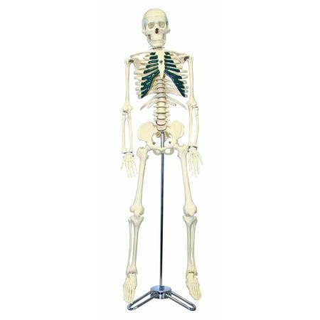 "Vision Scientific Half Size Human Skeleton- 33"" (84cm) with Nerve Endings"