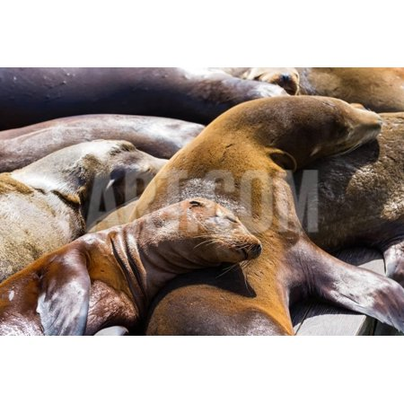 Group of California Sea Lions Sun Bathing on the Floating Docks in San Francisco Print Wall Art By
