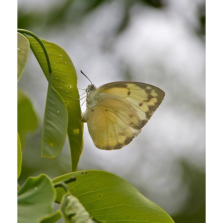 LAMINATED POSTER Leaf Insect Wild Butterfly Wing White Eggs Poster Print 24 x 36](Butterfly Eggs For Sale)