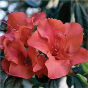Encore Azalea Autumn Embers - Reblooming Shrub with Red Blooms - 1 Gal