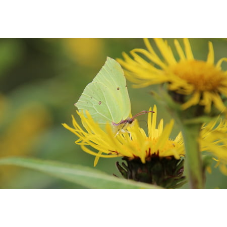 LAMINATED POSTER Animal Flowers Gonepteryx Rhamni Green Butterfly Poster Print 24 x 36