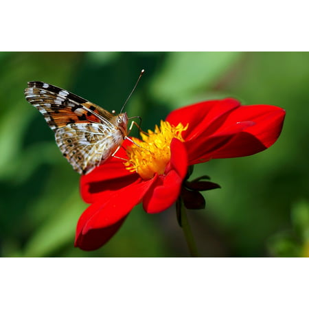 Canvas Print Painted Lady Red Flower Flowers Garden Dahlia Stretched Canvas 10 x 14 - Painted Flower