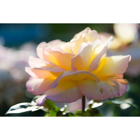 Peel n stick poster of rose flower roses yellow flowers for Rose adesive