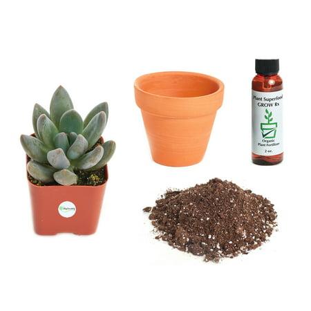Echeveria Plant - Shop Succulents Echeveria Haagai 'Tolimanensis' 2In Plant Kit