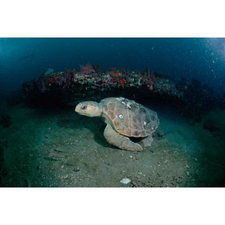 Georgia Set - Loggerhead Sea Turtle on coral reef Greys Reef NMS Georgia Poster Print by Flip Nicklin