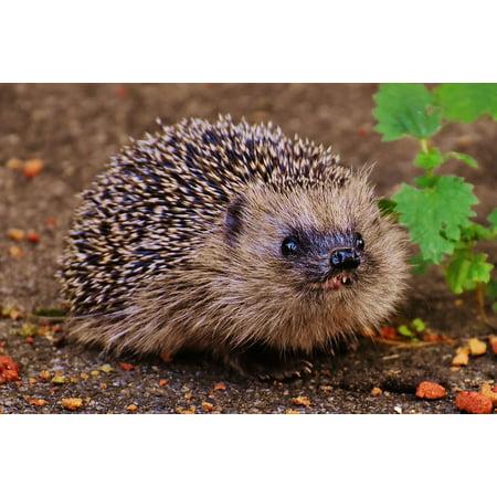 LAMINATED POSTER Hedgehog Child Animal Spur Hedgehog Young Hedgehog Poster Print 24 x 36
