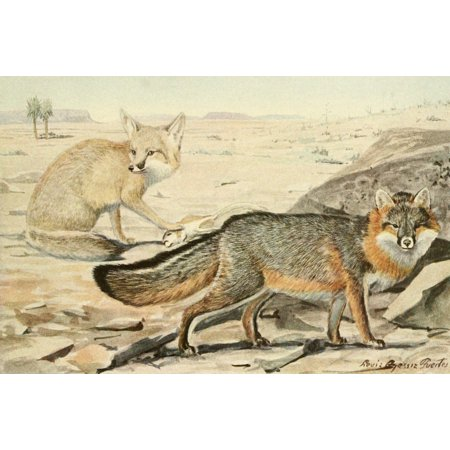 Wild Animals of N America 1918 Desert & Grey Fox Canvas Art - LA Fuertes (24 x 36) ()