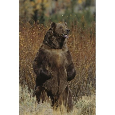 Grizzly Bear Standing in Meadow Print Wall Art By DLILLC ...