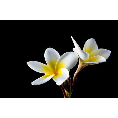 Laminated Poster Frangipani Bloom Flower Plumeria White Blossom Poster Print 24 x 36