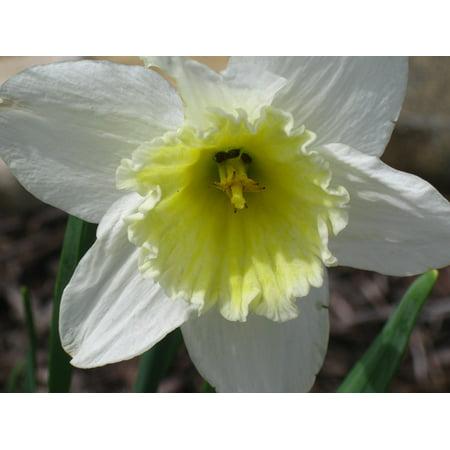 Canvas Print Spring Flowers Daffodils Daffodil Flowers Yellow