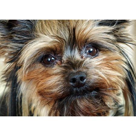 LAMINATED POSTER Yorkie Facial Dog Hairy My Szofy Face Poster Print 24 x 36 - Hairy Face Mole