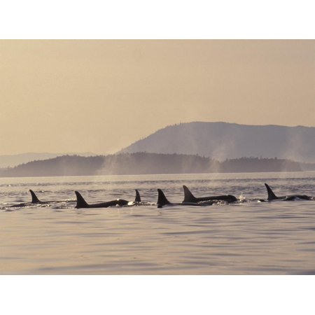 Orca Whales Surfacing in the San Juan Islands, Washington, USA Seascape Sepia Photography Print Wall Art By Stuart Westmoreland Pictures Orca Whales