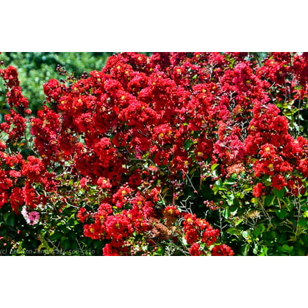 - Red Rocket Ornamental Flowering Crape Myrtles - 4 Pack Starter Trees - Quart Containers - 1 Foot Tall - Plant in Landscape and Garden