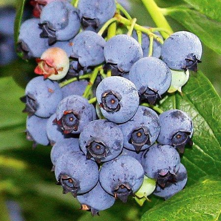 Blueray Blueberry Plant - 20 Pounds of Berries per Bush - 2.5