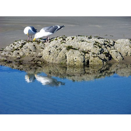 - Laminated Poster Gulls Birds Rock Summer Beach Seagulls Reflection Poster Print 11 x 17