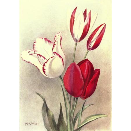 Bulb Gardening 1922 Tulips Stretched Canvas - M Astley West (24 x (Tulip Bulb)