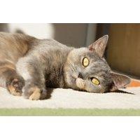 Canvas Print Domestic Cat Pet Cute Kitten Feline Animal Stretched Canvas 10 x 14